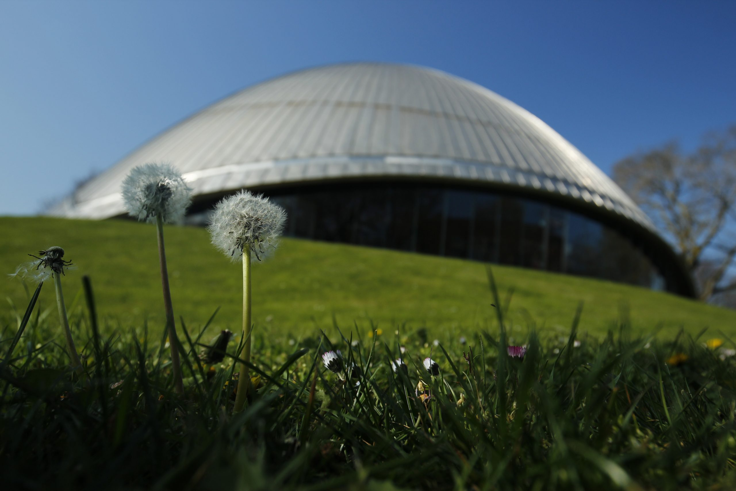 Close-up of a dandelion in a meadow in front of the Zeiss Planetarium Bochum. The building itself is blurred in the background.
